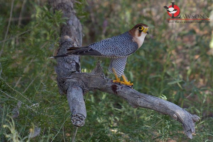 Red-necked Falcon in the Kalahari.