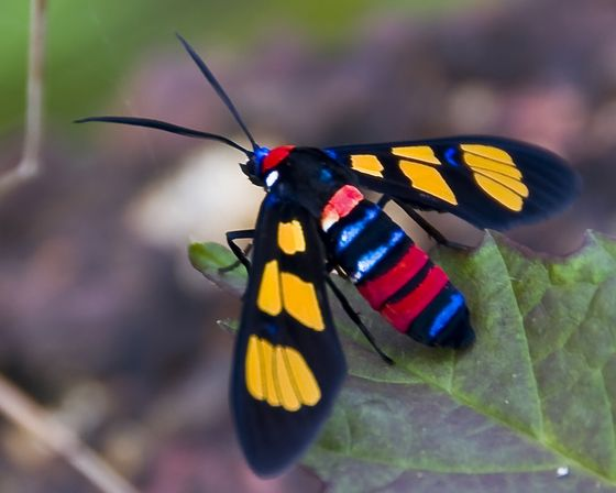 Euchromia moth, a Wasp Moth; one of the Arctiid Moths; most likely belongs to Euchromiini.
