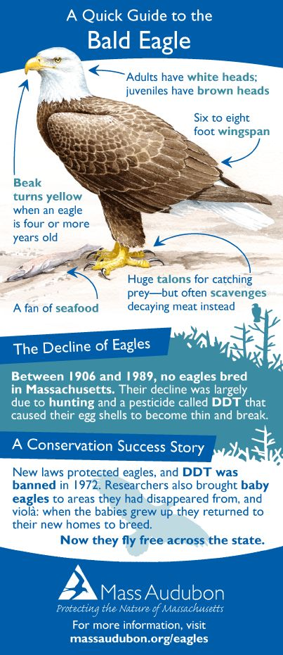 The Bald and the Beautiful -- Learn all about the bald eagle!