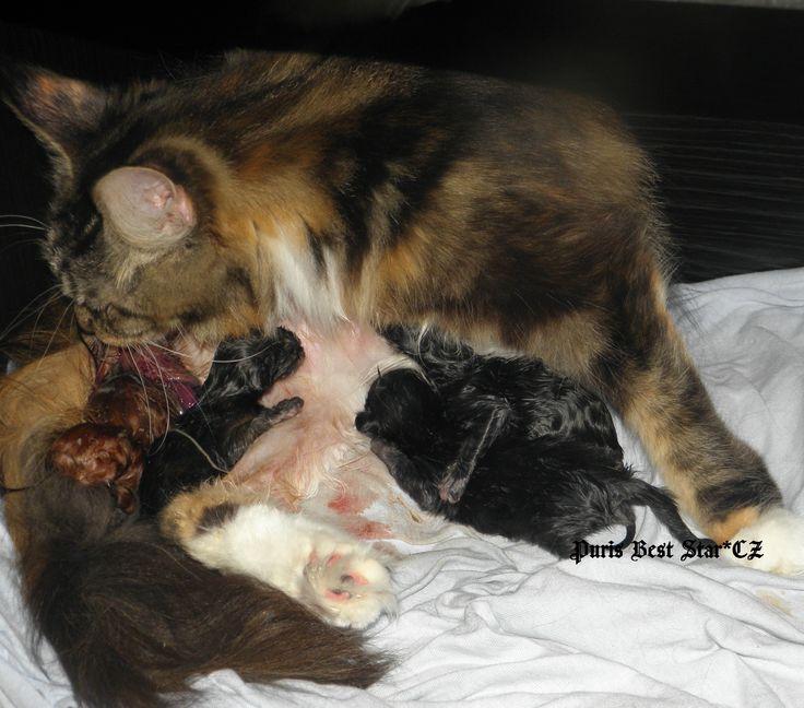 """To jsme my, koťátka z vrhu """"M"""" přicházíme na svět. K narození jsme si vybrali 2. března 2016 :-). Naše maminka je šikovná a vše zvládá bez problémů a pomáhá nám s příchodem na svět .-)."""