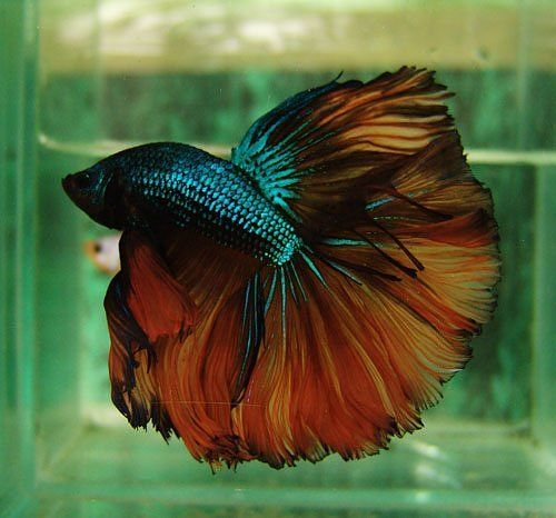Green fire dragon bettas and other fish pinterest for Big betta fish