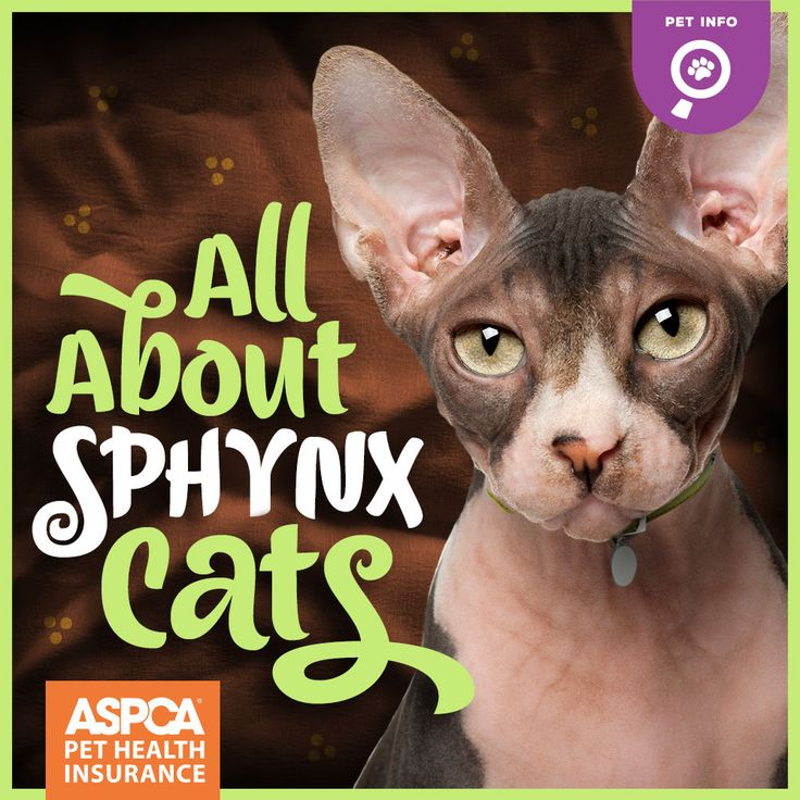 When you picture a Sphynx cat, Mr. Bigglesworth may come to mind – you know, Dr. Evil's sinister sidekick from the popular Austin Powers movies. However, if you've met a Sphynx, you know that these hairless extroverts are anything but evil. In fact, Sphynx cats are irresistibly friendly, affectionate, and curious.