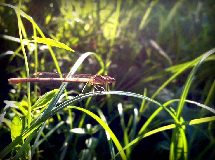 libellula sopra un filo d'erba