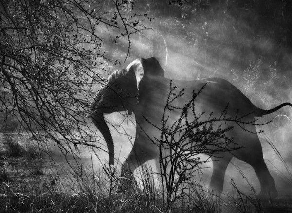 Sebastiao Salgado elephant