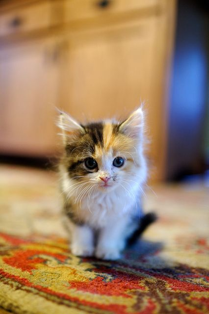 Sweet little Calico kitten