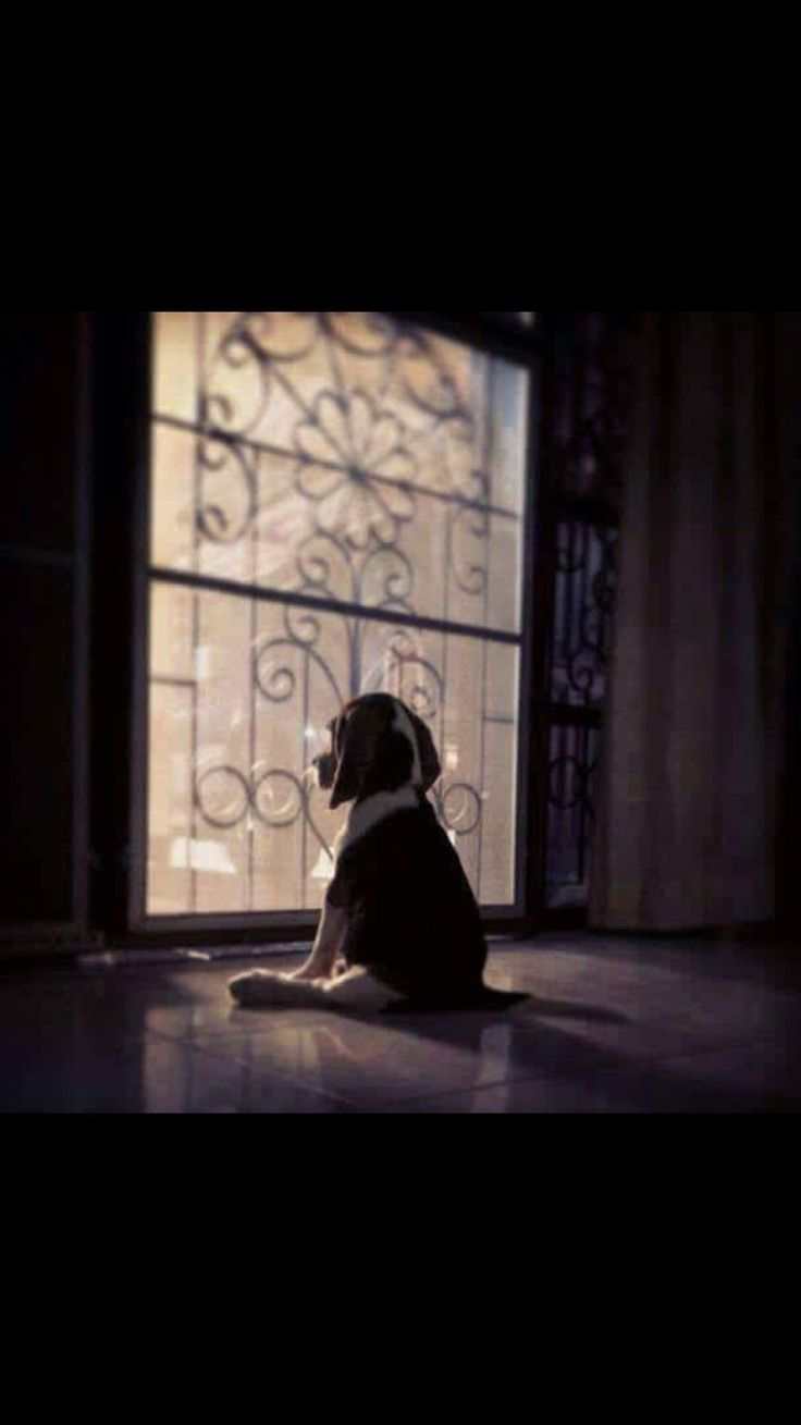 Adorable and wistful Everything you need to know about beagles #Beagle
