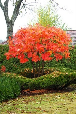 Sorbus commixta [Olympic Flame] = 'Dodong' AGM grows to be a very small, branching tree. Height: 16 - 20 ft and Spread: 16 ft. A stiff, columnar tree when young, leaves green, coppery in the spring with stunning orange and red tints in autumn. _/\/\/\/\/\_