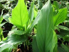 Curcuma longa - kurkuma dlouhá, indický šafrán Zahradnictví Krulichovi - zahradnictví, květinářství, trvalky, skalničky, bylinky a koření