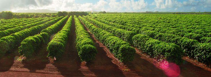Beautiful fields of coffee trees on the Koloa Estate - Kauai Coffee Company