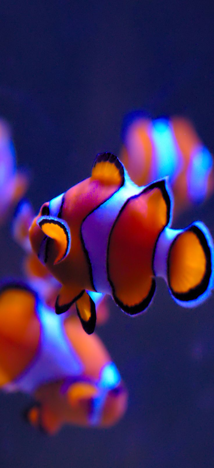 iOS 11, clownfish, orange, blue, water, apple, wallpaper