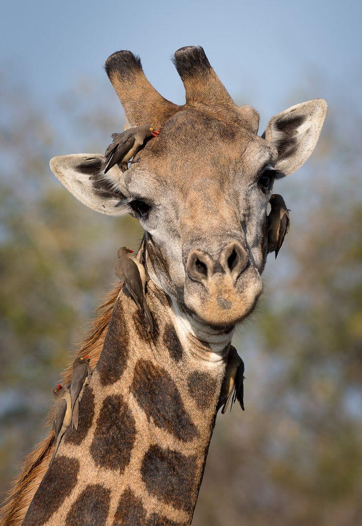 Giraffe & cleaners...