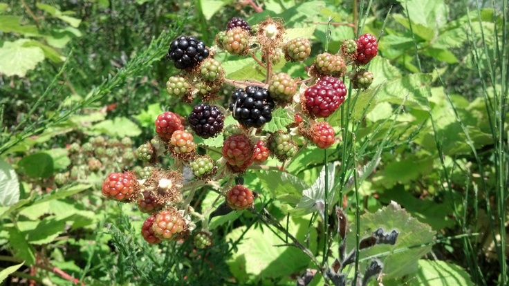 Wild Blackberries along the road in Bremerton, Washington