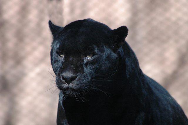 DSC_0159.JPG Caption: DSC_0159.JPG - Black Jaguar Tags: animals,black,cats,jaguar,zoo