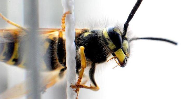 Focus.de - Blutvergiftung möglich!: Wespen-Plage: Mehr Allergiker landen in den Kliniken - Brandenburg