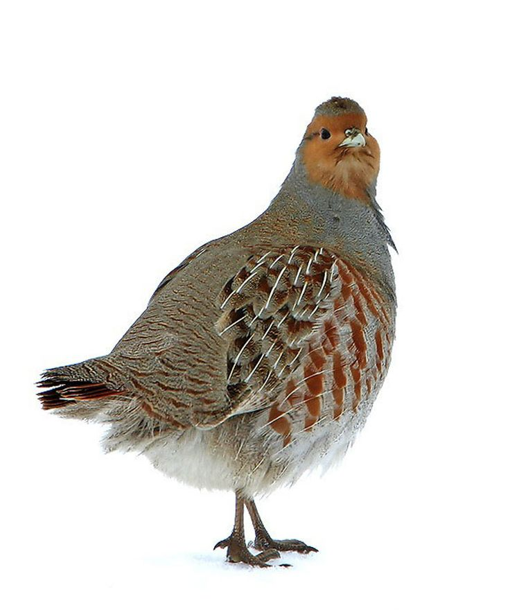 [][][] Order Galliformes: Grey Partridge. (common to Edmonton, introduced as opposed to native)