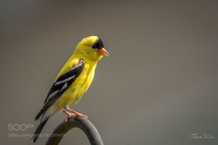 Male Goldfinch by AnthonyLe2