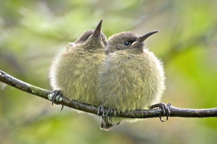 Greater double-collared sunbird chicks - the hard side of nature's beauty.