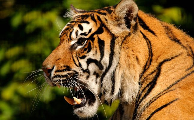 Closeup of the majestic Sumatran tiger