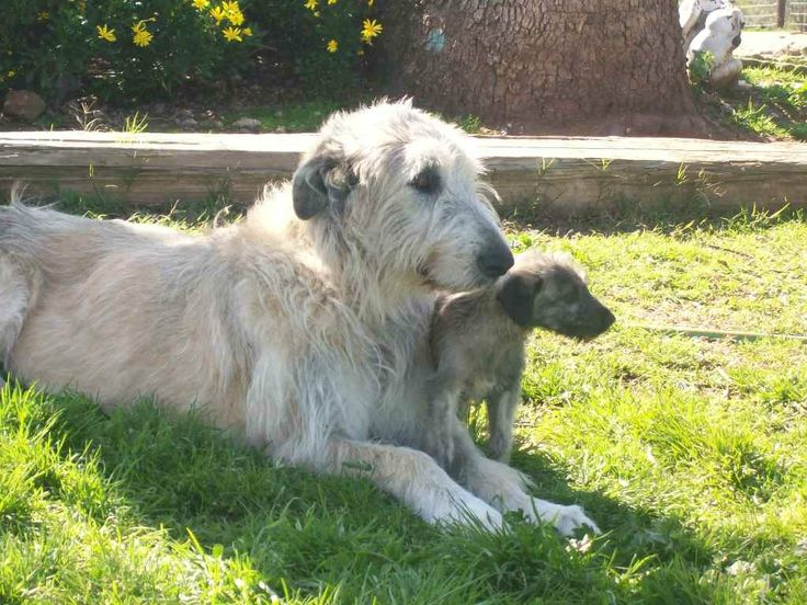 Irish Wolfhound mom with pup