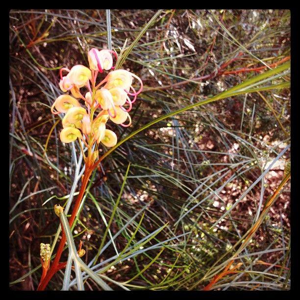 Grevillea est une fleure australienne que l'on appelle parfois la fleur araignée #australie #fleur #plante #maranoa #maranoagardens #jardinbotanique #jardin #fleuraraignée (à Maranoa Gardens) #Australia