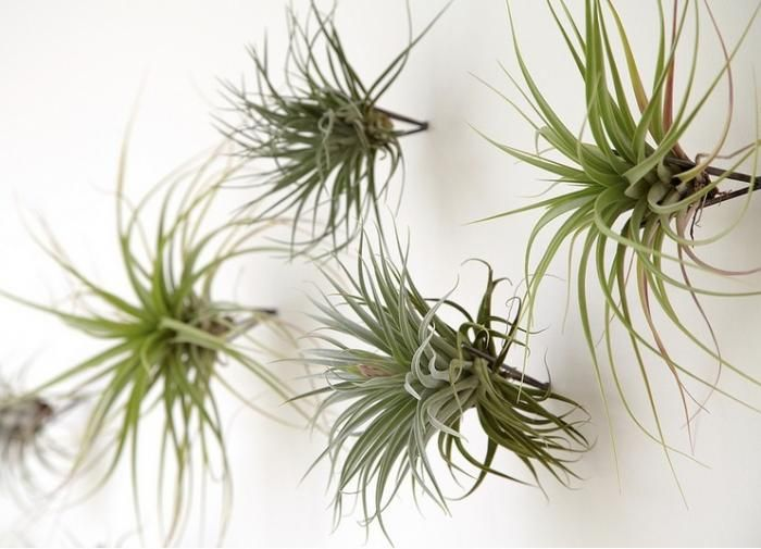 107 best images about air plants on pinterest air plant