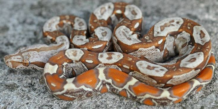 """crispysnakes: """" Morph: IMG VPI T+ Species: Common Boa - boa constrictor imperator (BCI) Owned by: Ryan Imperator Photographed by: Low Key Boas """""""