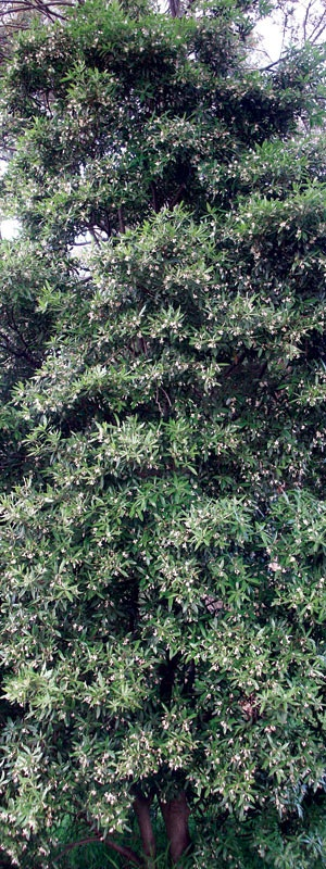 Pittosporum Sweet Scent Will Be My Privacy Hedge Garden Pinterest Priva