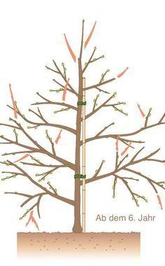 Obstbäume schneiden -  Obstbäume, die als Spindel gezogen sind, bleiben klein und tragen früh Früchte. Damit das so bleibt, müssen sie regelmäßig geschnitten werden.