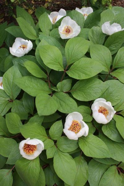 Chinese Woodland Peony  Paeonia obovata ssp. obovata var. willmottiae //2015 Mason Hollow - tea garden shade bed