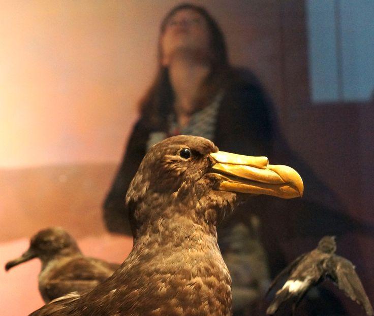 Albatros en taxidermia forman parte de la colección permanente del MHNV