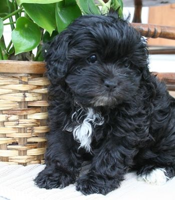 it has been decided, when we get another puppy... it will be a shih poo!