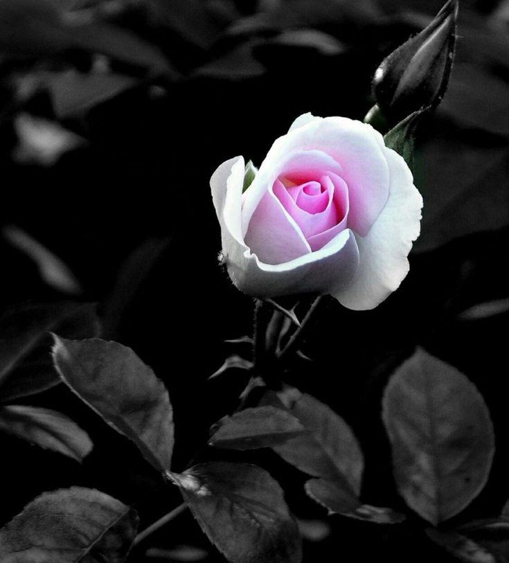 картинки темные розы на телефон обработку ваших фоток