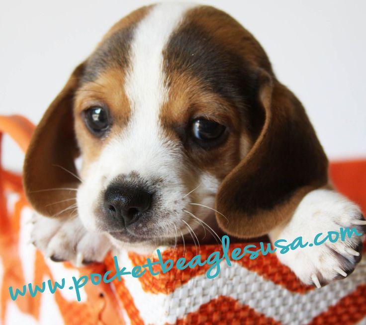 Small Beagle Pocket Beagle Purebred Beagle Small Dog Puppy