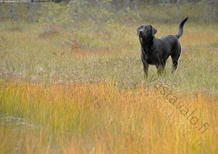 Ilmavainu - labradorinnoutaja noutaja labbis metsästyskoira musta…