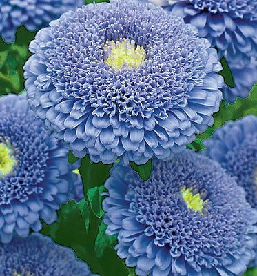 RUSSIAN ASTER SEEDS - UNUSUAL POMPOM BLUE FLOWERS | eBay
