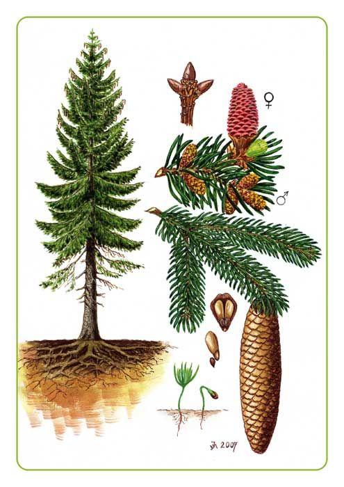 Název - Smrk ztepilý Odborný název - Picea abies Čeleď - borovicovité