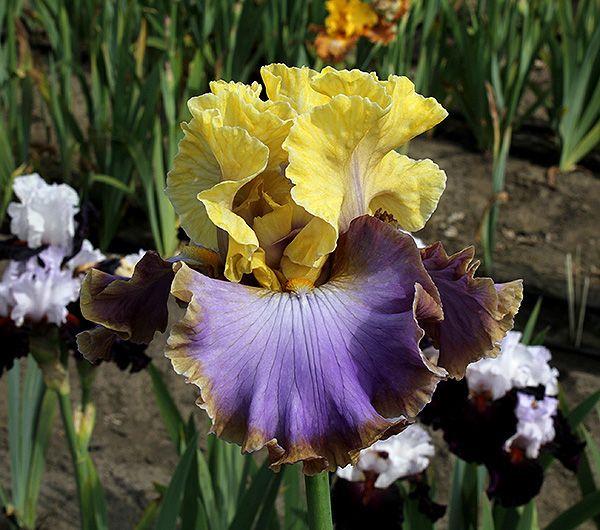 Team Player Tall Bearded Iris Iris Garden Day Lilies Team Player
