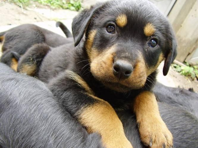 German shepherd rottweiler mix, he looks so much like Odin