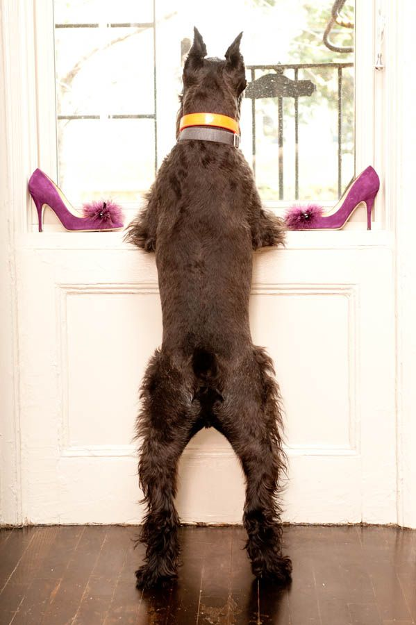 Reminds me of Charlie: Minis Schnauzers, Dogs, Pet, Standards Schnauzers, Miniatures Schnauzers, Baby Animal, Pink Shoes, Cute Doggies, Giant Schnauzers