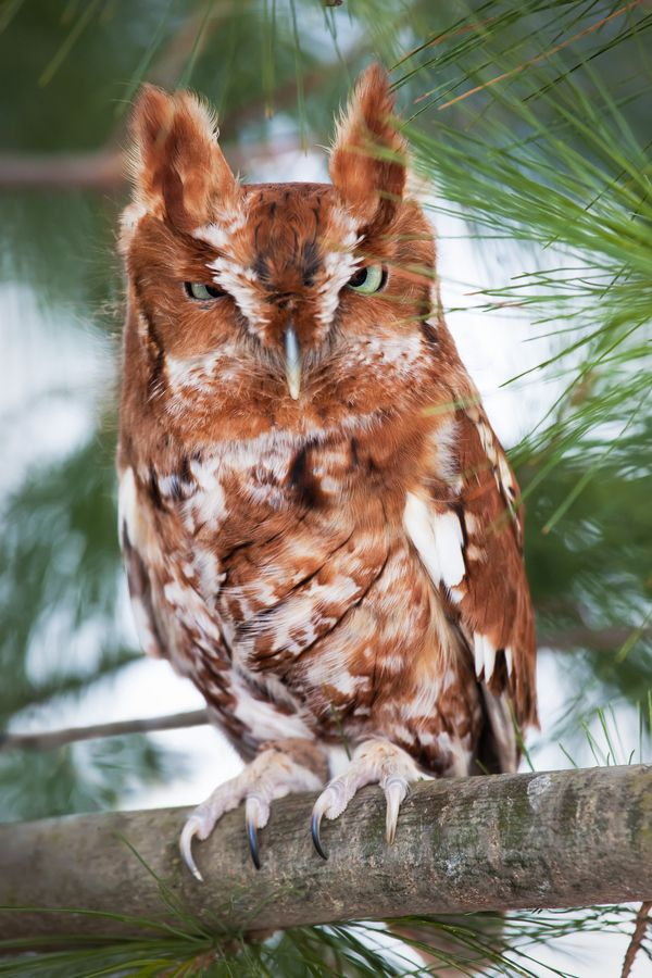 "Eastern Screech Owl by Igor Kovalenko, via 500px. ""Eastern screech owl (red morph) perched on a branch."""