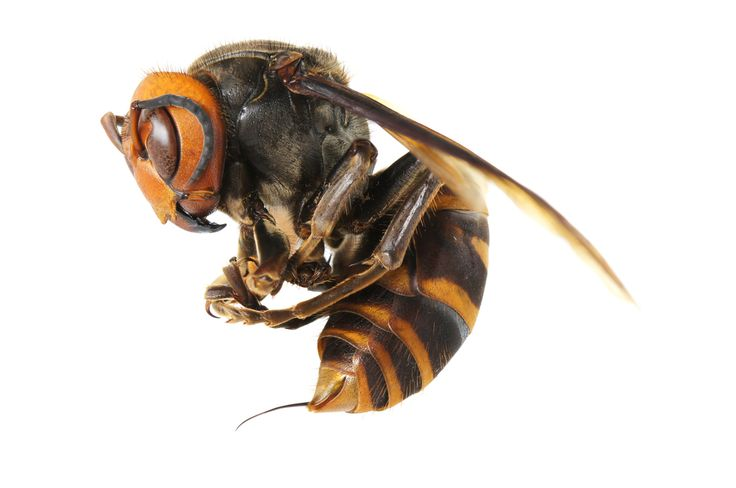 The Asian giant hornet, or yak-killer hornet (Vespa mandarinia), is blamed for dozens of deaths in China this year.