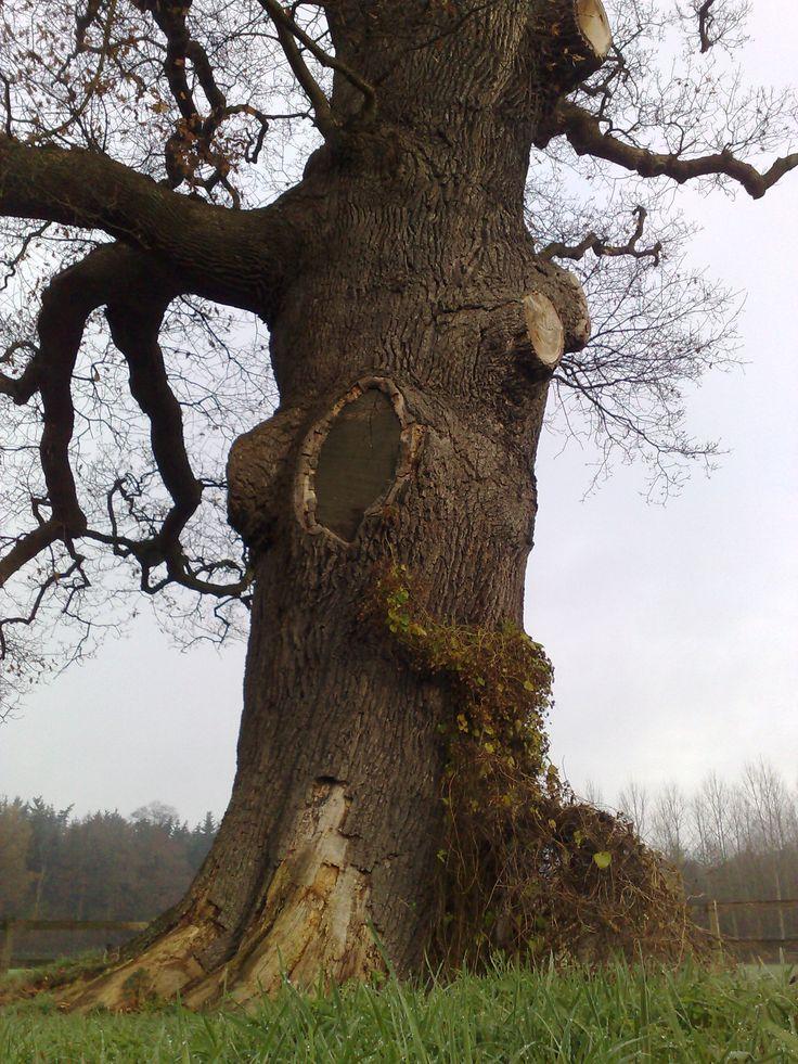 De dikke boom van Verwolde,Laren