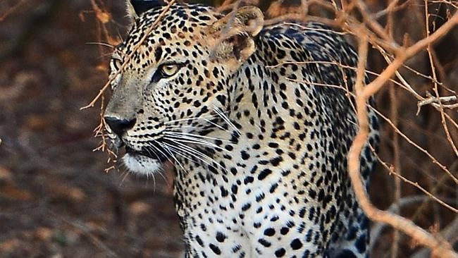 A 56-YEAR-OLD woman has endured a fierce battle with a vicious leopard and come out on top, using a sickle to defend herself..
