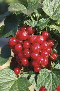 Currant Standard Ribest® Lisette®  A red currant with large, compact fruit