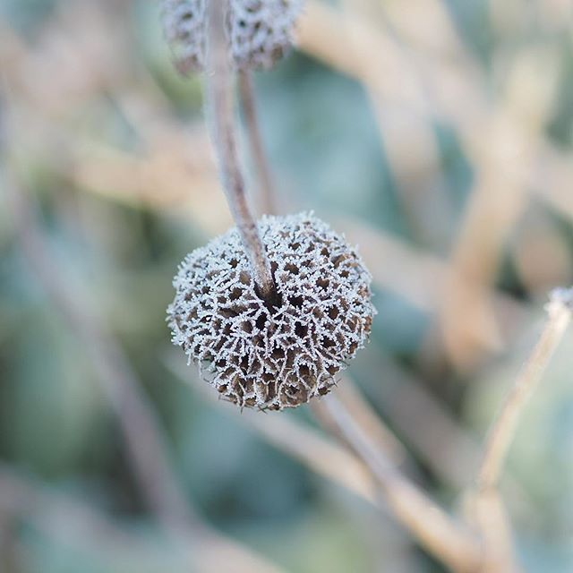 I never tire of the seedheads of Phlomis russeliana  edged with frost they're even more magical in their tiered geometric perfection. The leaves below are bulking up nicely on these soon time to cut back these dead stems to make way for fresh yellow flowers. Maybe just one week more #thatwinterspringthing  #fb #mystoryoflight #peninpractice #olympusuk #tostandandstare #winter