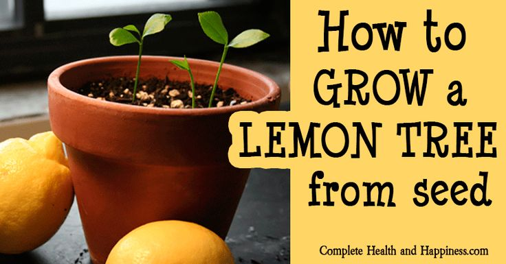 learn how to grow a lemon tree from seed good info to