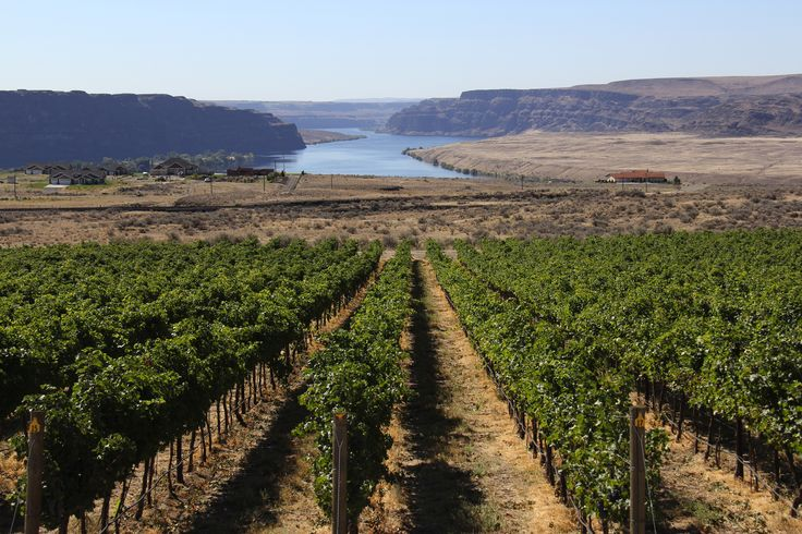 Trinidad Vineyard, owned by Jones of Washington, is in the new Ancient Lakes of Columbia Valley AVA. (Photo courtesy of Nancy Phillips, Design Originals)