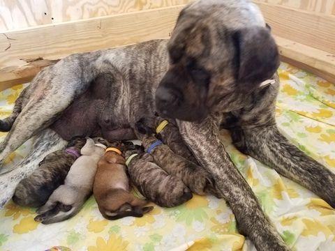 Mastiff puppy for sale in CUTLER, IN. ADN-31465 on PuppyFinder.com Gender: Male. Age: 1 Week Old