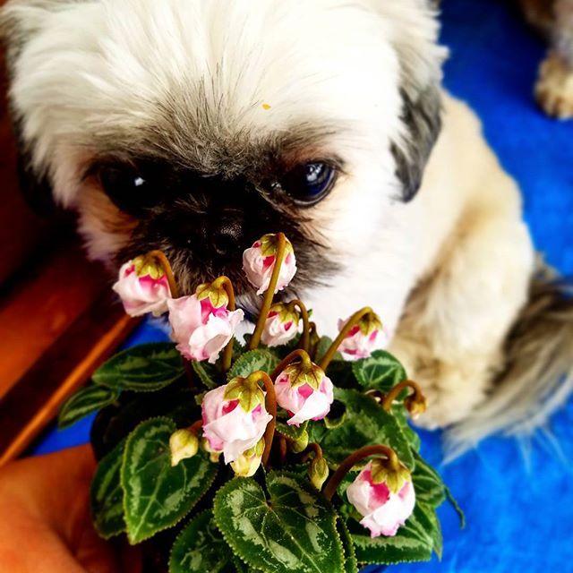 ガーデンシクラメン  ミニミニサイズなのかな!?可愛い❤✨ #ガーデンシクラメン #シクラメン #cyclamen #しがトコ  #植物と暮らす  #植物にに触れる #植物のある暮らし  #お花屋さん  #大好きな園芸店 #植物 #愛犬 #愛猫 #lovepet #lovedog #petdog #lovecat #petcat #pet #mypet #prince #プリンス #プリンセス #princess #花が好き #花が好きな人と繋がりたい #写真好きな人と繋がりたい #ファインダー越しの私の世界