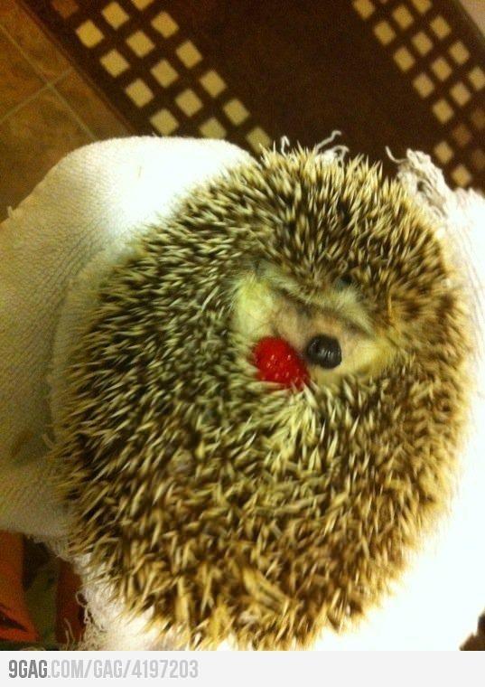 My Berry!: Cuteness, Animals, Pet, Hedgie, Hedgehog Cuddling, Things, Hedgehogs, Raspberries